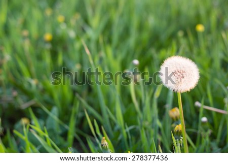 white dandelion flowers in green grass in summer garden in sunset light