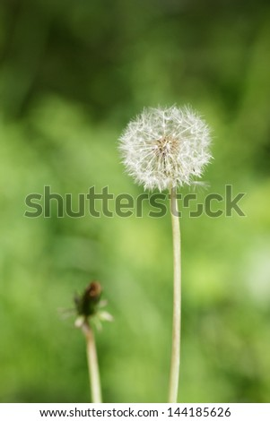 white dandelion over defocused background