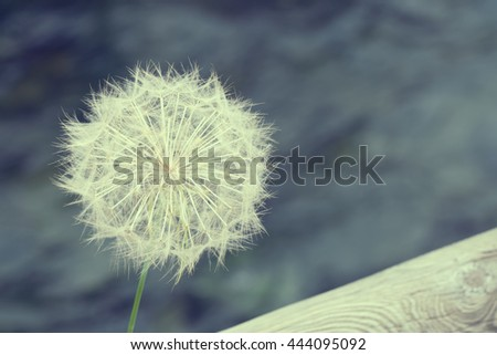 White dandelion with wooden logs on a blurred background. Toned - stock photo