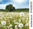 White dandelions in the field and blue sky with sun. - stock photo