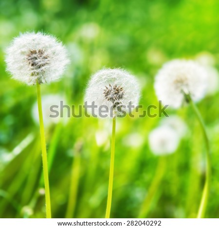 White dandelions on the green lawn. Summer landscape.