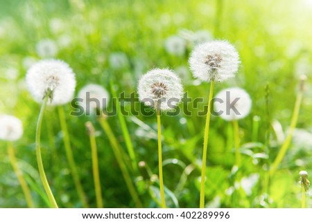 White dandelions on the green lawn. Summer landscape. - stock photo