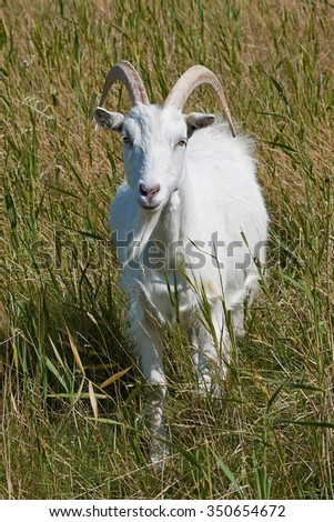 White Danish Landrace goat seen from the front standing in natural surroundings