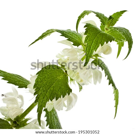 white dead-nettle flowering  (Lamium album) close up  isolated on white background - stock photo