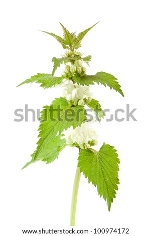 White dead-nettle (Lamium album), on white background. - stock photo