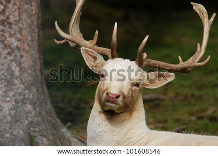 white deer in the forest