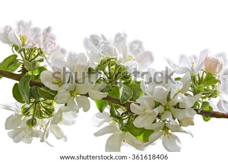 White delicate flowers of apple tree  isolated on white background, macro. Selective focus - stock photo