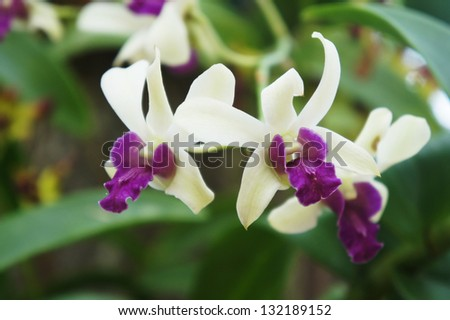 White dendrobium orchid flower - stock photo