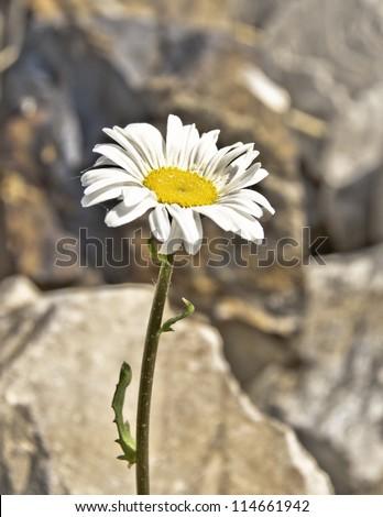 White desert flower - stock photo
