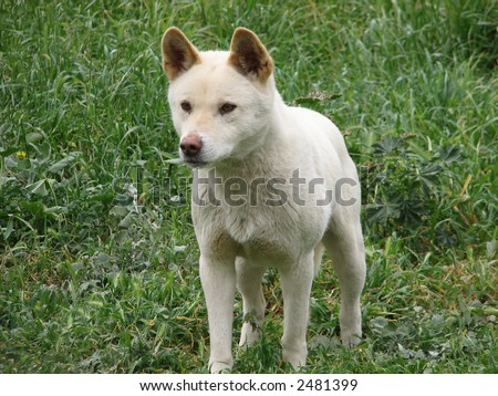 white dingo - stock photo