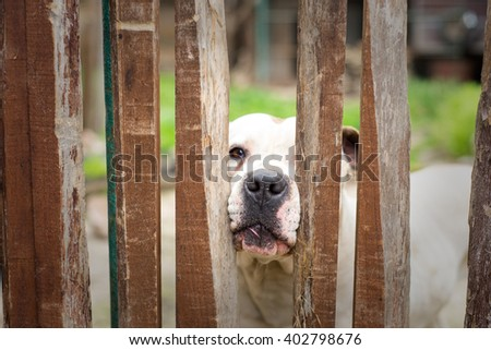 White dog behind wooden fence