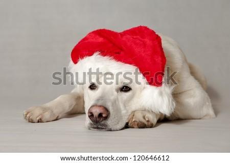 white dog christmas White Swiss Shepherd - stock photo