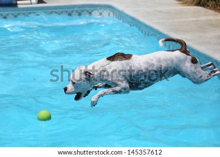 White dog diving into the water of the pool for her ball - stock photo