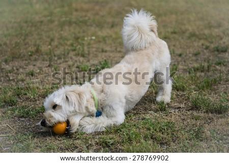 White dog enjoys his ball - stock photo