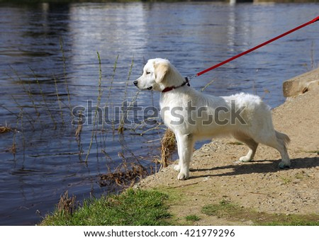 white dog golden retriever with black nose on a leash stares at something on the riverfront - stock photo