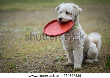 White dog is ready to play frisbee - stock photo