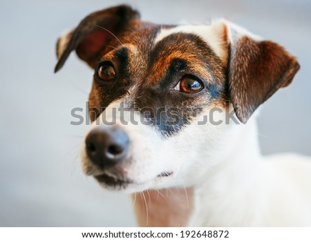 White Dog jack russel terrier on gray floor indoors