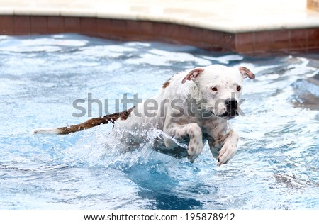 White dog jumping while in the water to swim in the pool - stock photo