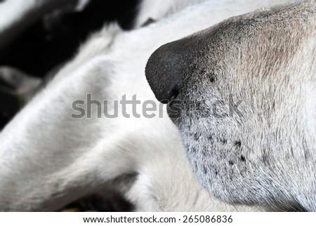 white dog nose close up - stock photo
