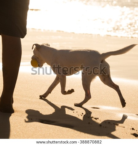 White dog on beach in summer, following his owner, carrying ball. - stock photo