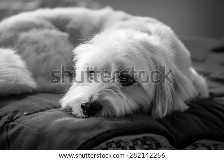 White dog on the bed black and white - stock photo