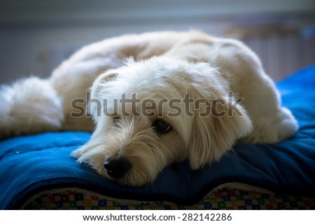 White dog on the bed portrait - stock photo