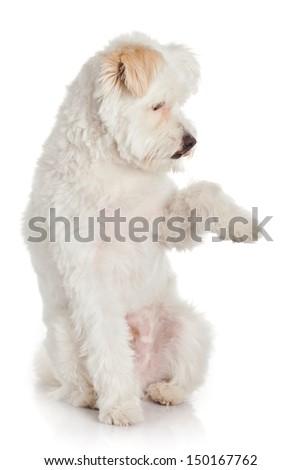 White dog on white background - stock photo