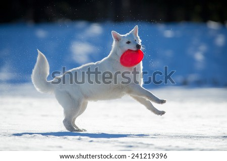 White dog playing on snow with frisbee in his mouth. - stock photo