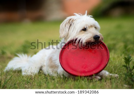 White dog  relax after playing frisbee in the garden - 4 - stock photo