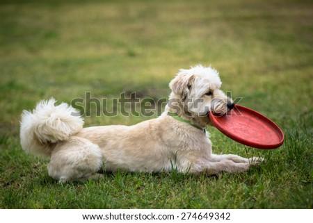 White dog waiting to play - stock photo