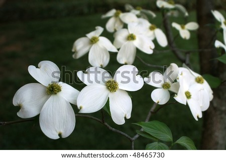 White dogwood flowers with yellow and green centers	 - stock photo