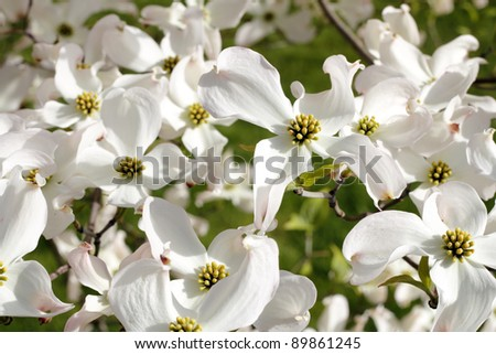 White dogwood tree flowers blooming on a sunny spring day. - stock photo