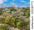 White dogwood tree in full bloom against, mountain and blue sky with white clouds. - stock photo