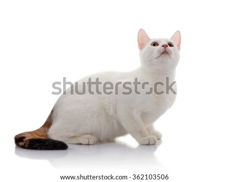 White domestic cat with a multi-colored tail sits on a white background and looks up