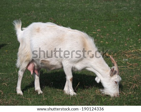 White domestic goat on green meadow