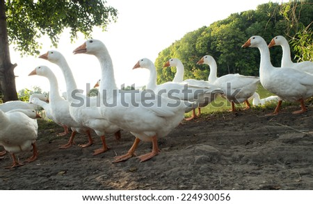 White Domestic goose - stock photo