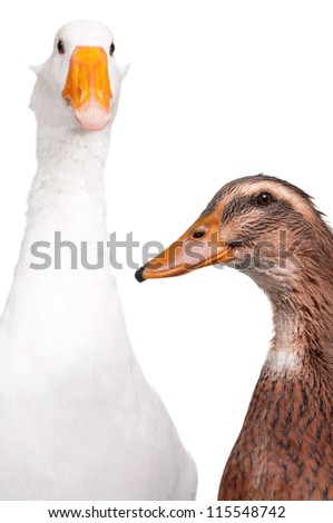 White domestic goose and duck isolated on white background - stock photo