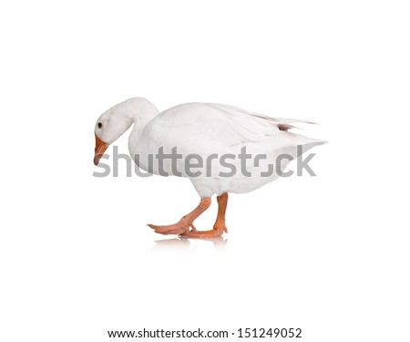 White domestic goose isolated on white background