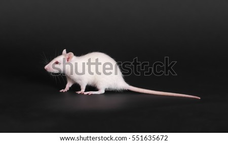 white domestic rat on a black background