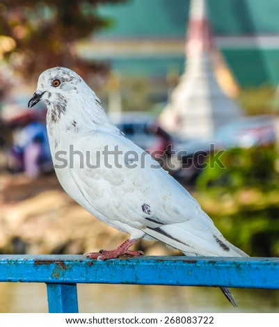 white dove . - stock photo