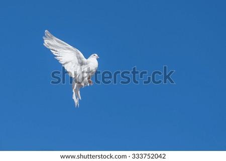 White dove flying against the blue sky - stock photo