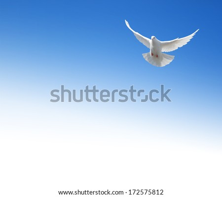 White dove flying in the sky. Background with a text field. - stock photo