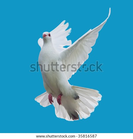 white dove flying isolated - stock photo
