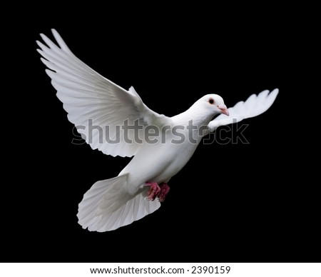 White Dove in Flight 7 - stock photo