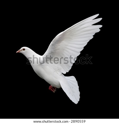 White Dove in Flight 11. A free flying white dove isolated on a black background. - stock photo