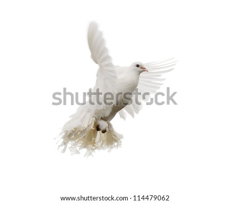 White dove in flight. Isolated on white - stock photo