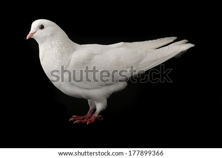 white  dove isolated on a black background - stock photo