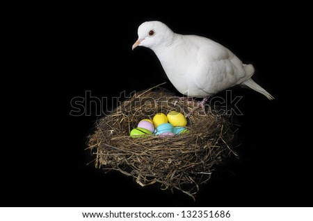 white dove on a nest of colored eggs with black background