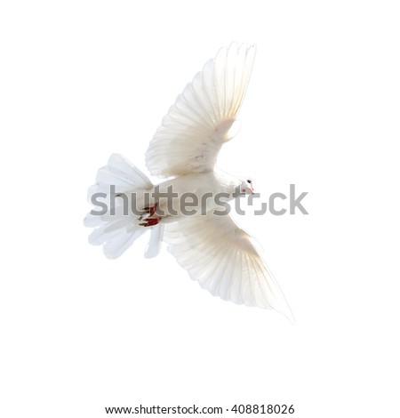 white dove on a white background - stock photo