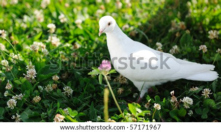 White dove on the grass - stock photo